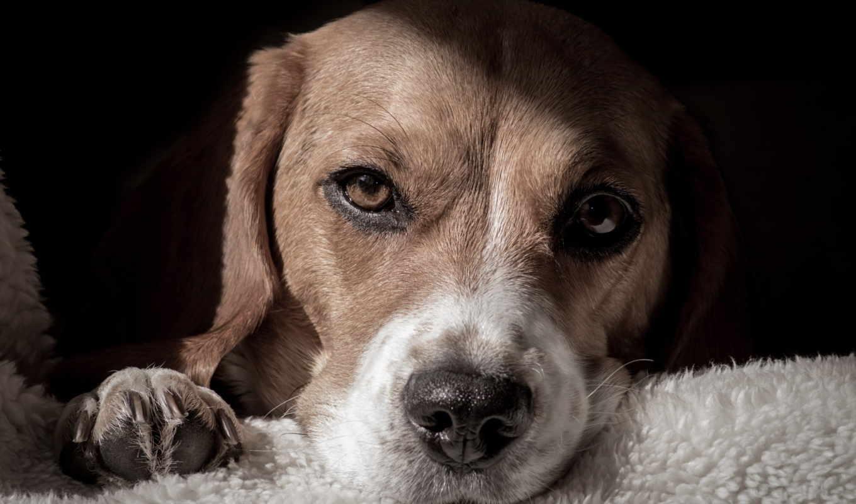 собаки, desktop, hintergrundbild, собак, tapety,