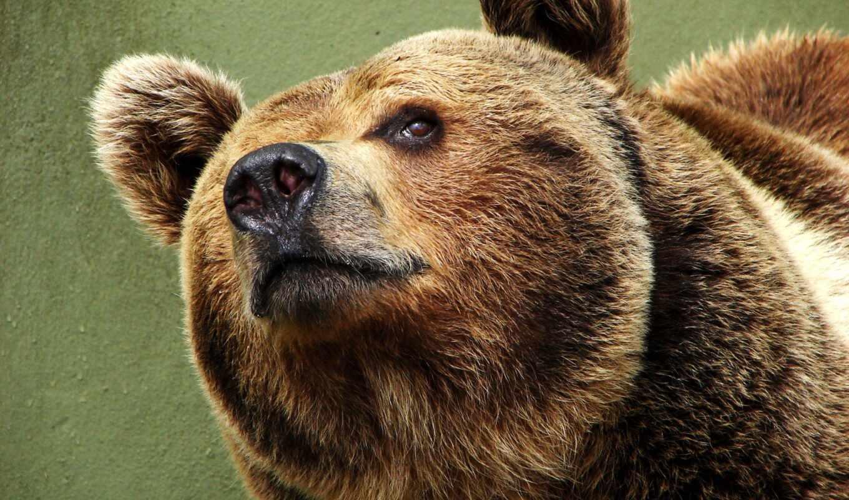 медведь, many, animal, news, нос
