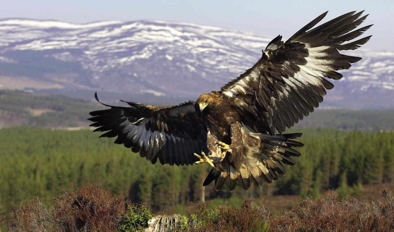 птиц, berkut, птица, хищных, одна, большой, известных, самый,