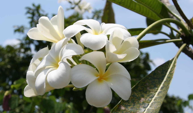 тайланд, цветы, море, магнолия, природа, путешествие, отдых, настроение, дерево, прогулка, картинка,