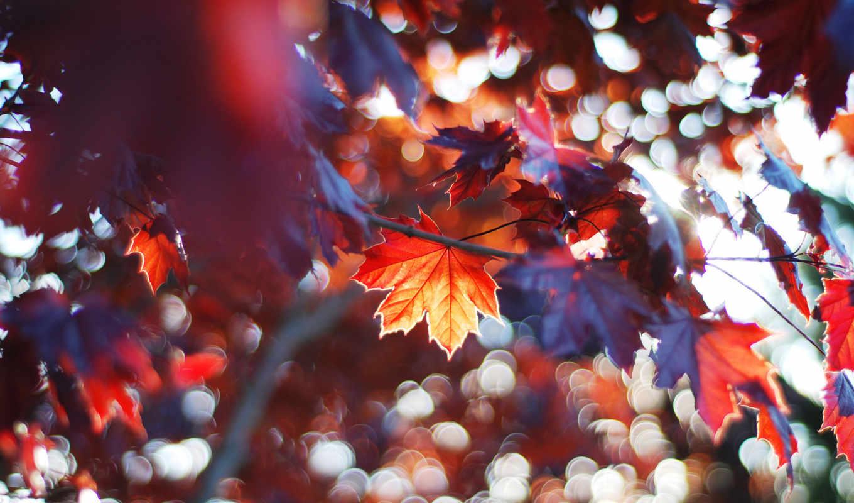 фотографий, изображение, листья, кленовые, коллекции, огромной, картинка, картинок,