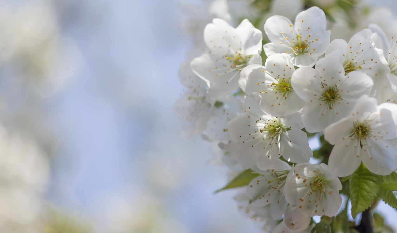 цветы, bloom, цветение, cherry, april, накачать, side, крутой, картинка, колекция