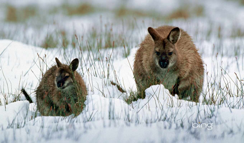 australian, landmark, австралия, animal, wallaby, tasmania, снег, kangaroo, fanpop, winter