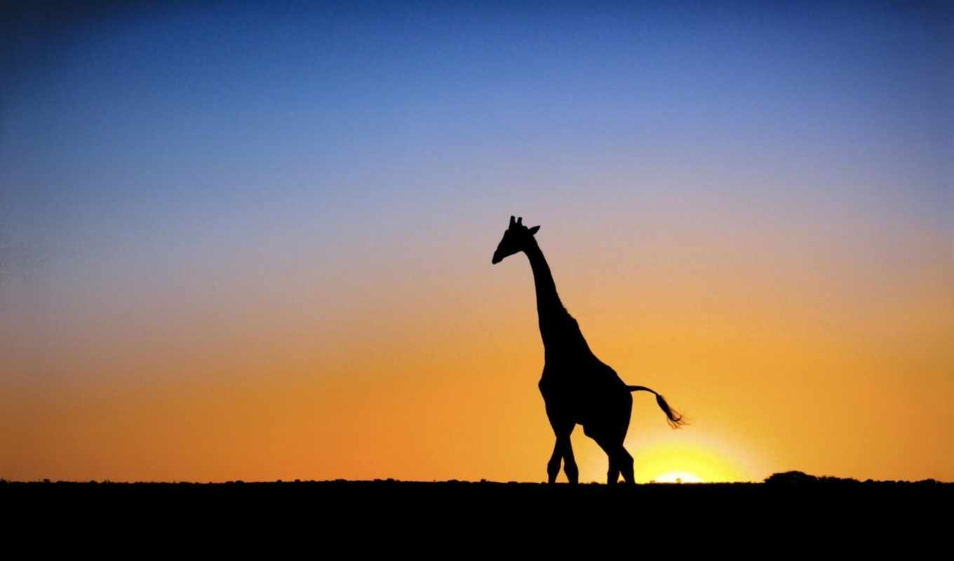 wallpapers, giraffe, жираф, закат, hd, солнце, botswana, animals, sunset,
