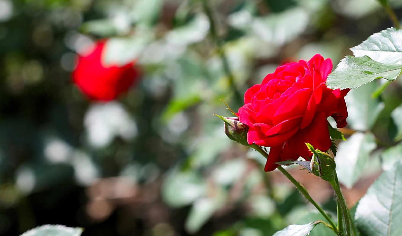 цветы, природа, summer,