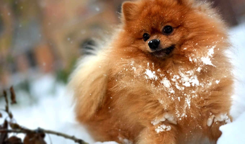 шпица, chiens, собаки, chien, шпиц, лотку, animaux, собака, приучить,