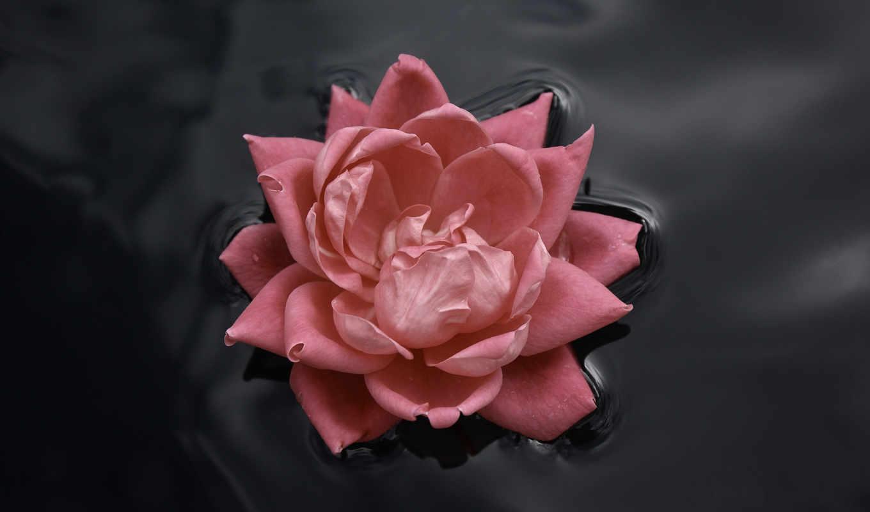 flowers, роза, water, воде, hd, nature, цветок, красивый, lily, flower, цветы, wallpaper, розовый, плавает, водяная, normal, wallpapers,