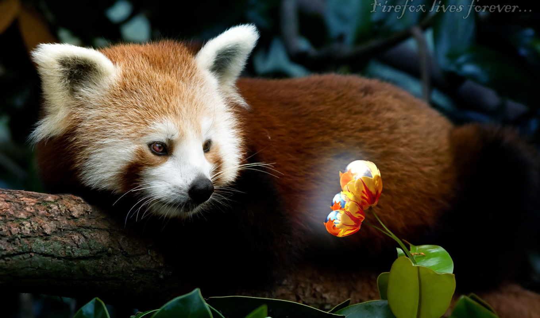 firefox, panda, red, красная, яркий, цветок, flowers, картинка, desktop, window, home, url, save, правой, ней, скачивания, разрешением, кнопкой, картинку, выберите, мыши,