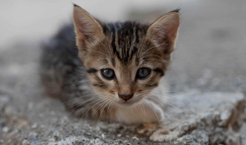 котенок, мордочка, кот, котята, смотрит, кошки, коты, малыш, животные,