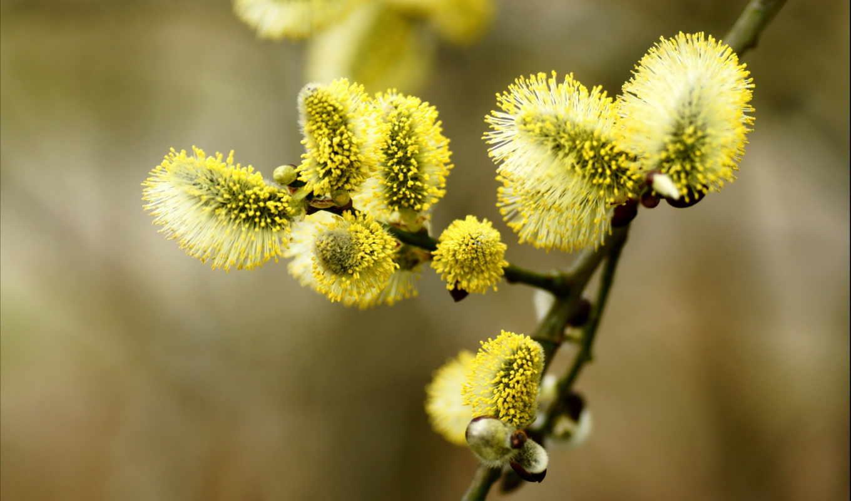 верба, ветка, cvety, просмотреть, дерево,