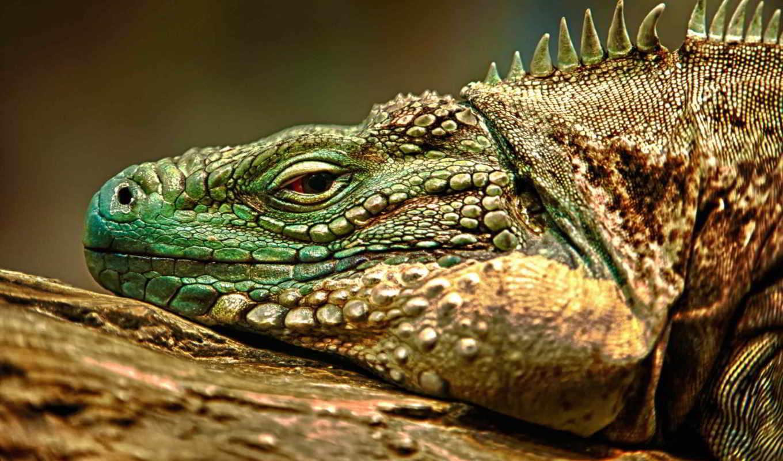 iguana, ящер,