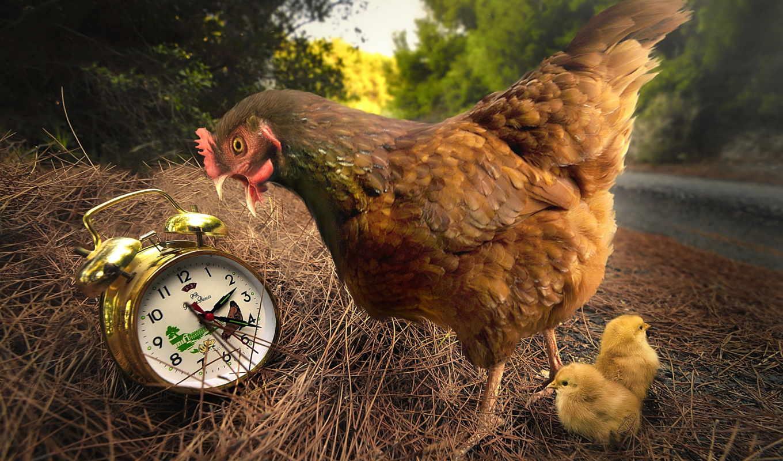 курица, цыплятами, птицы, online,