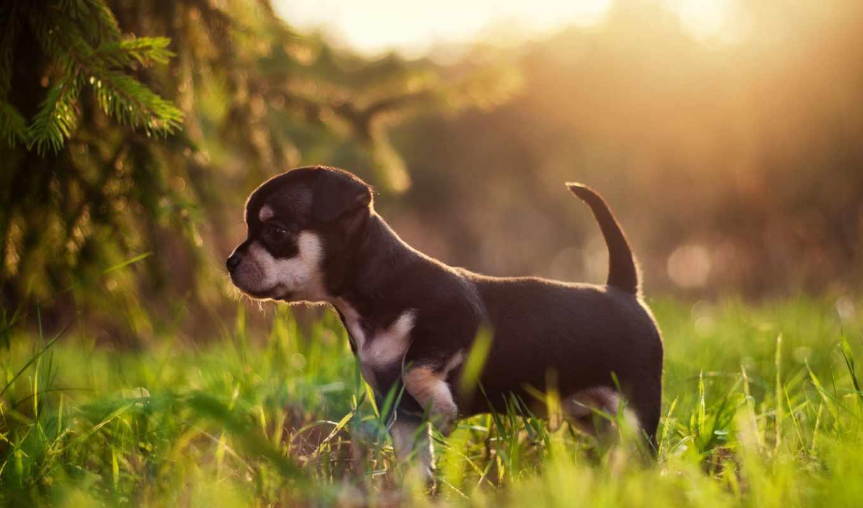 собака, zhivotnye, собаки, щенок, трава,,