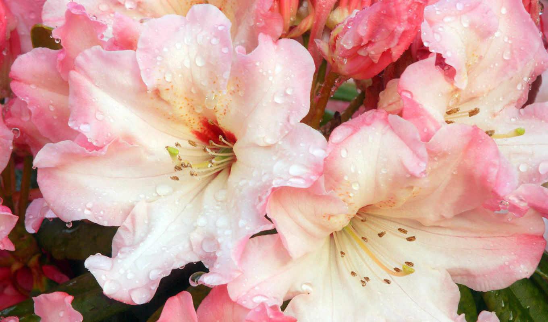 лилии, цветы, красивые, цветами, розовые, качественные, розы,