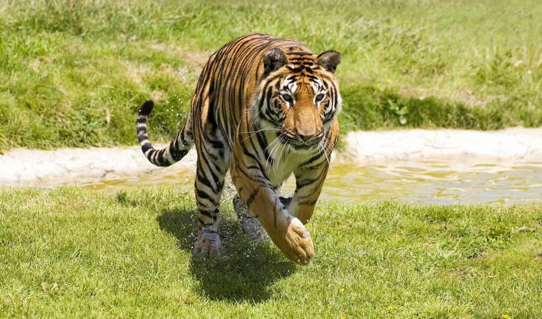 harimau, dan, кошачьих, gambar, android, cool,