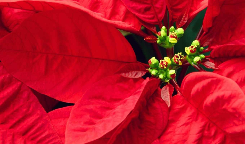 цветок, красный, цветами,
