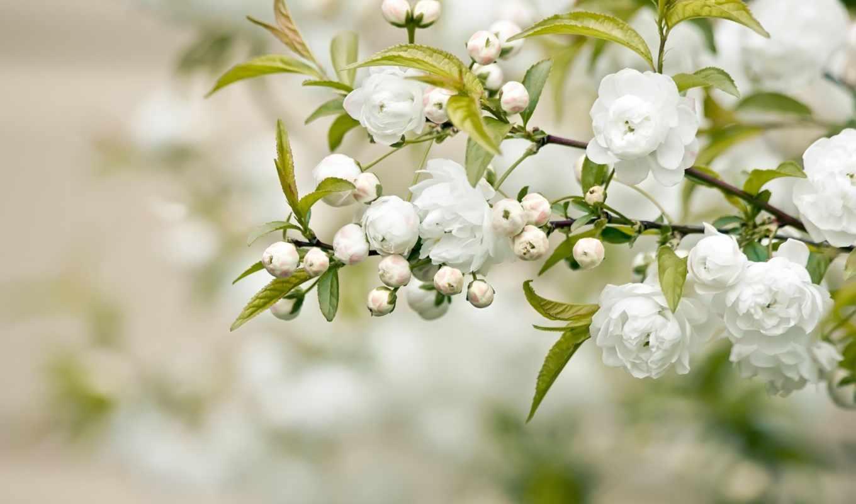 цветы, белые, листья, лепестки, branch,