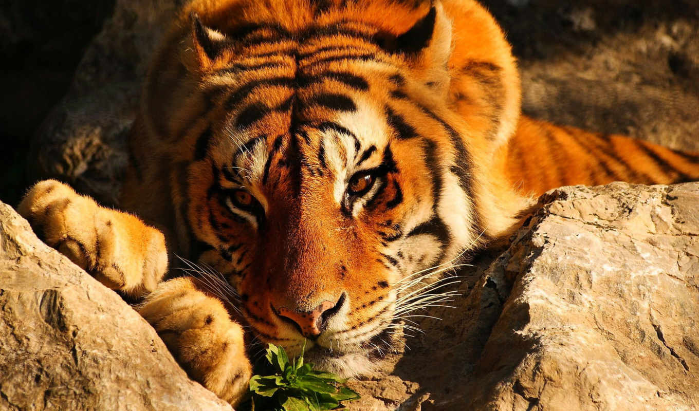 широкоформатные, высокого, качества, тигр, разрешения,