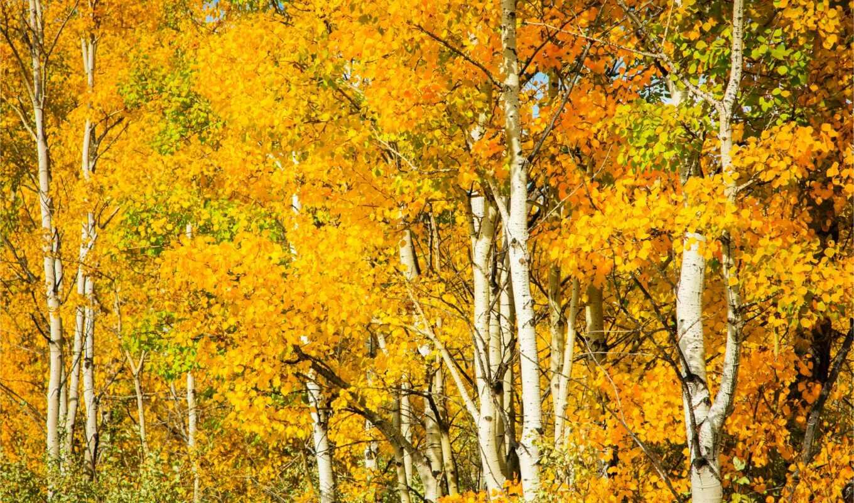 осень, береза, дерево, природа, season