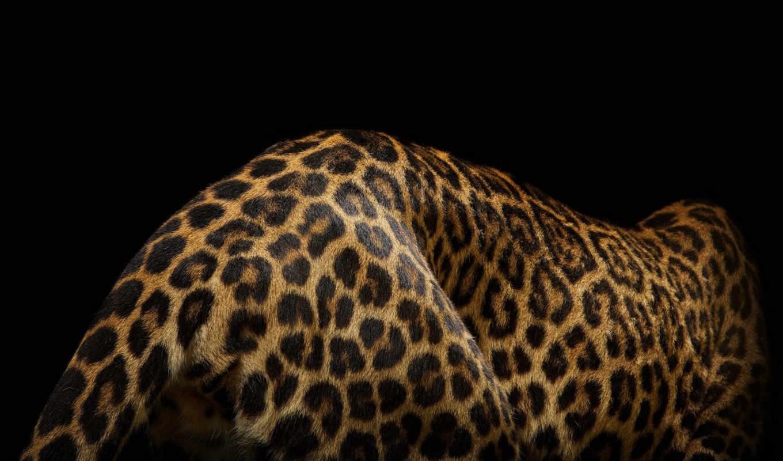 кошки, изображение, большие, клип, дж, кошек, musi, диких, lion, больших, красоту,