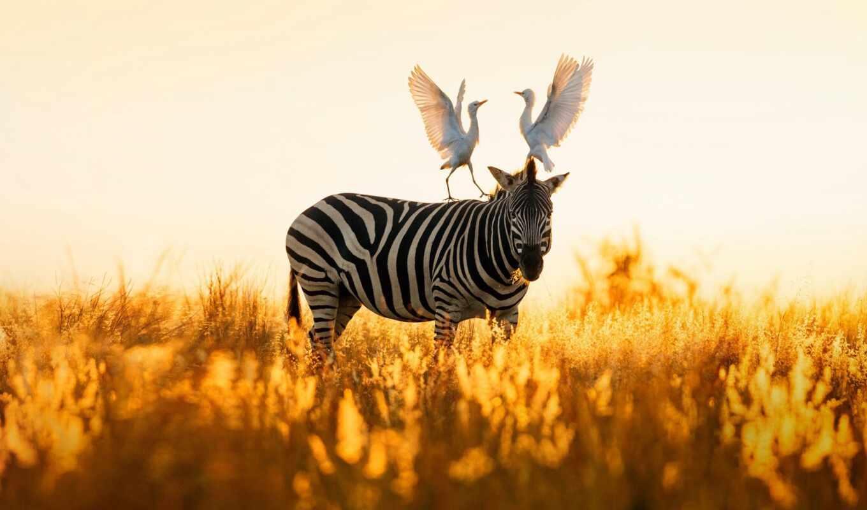 zebra, priroda, картина, декор, прикольный, птица, fond, юар, afrika, egipetskii, kartinka