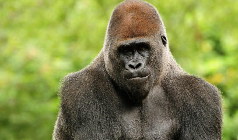 горилла, обезьяна, взгляд, морда, самые, шерсть,