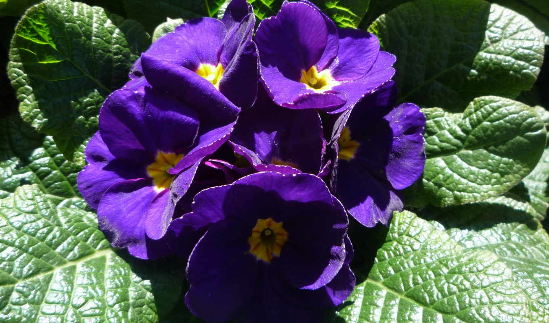 цветы, фиолетовый, фиалки, гладиолусы,