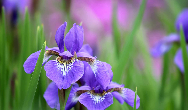 ирисы, cvety, iris, трава, сиреневые,