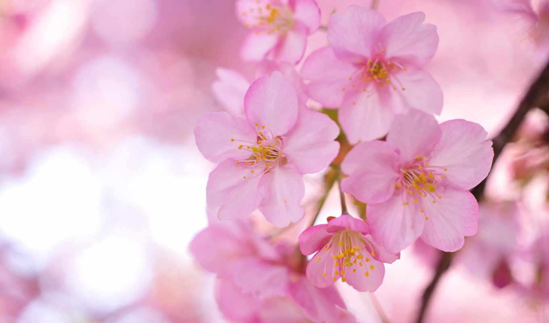 цветы, широкоформатные, Сакура, лепестки, ветки, розовые, дерево,