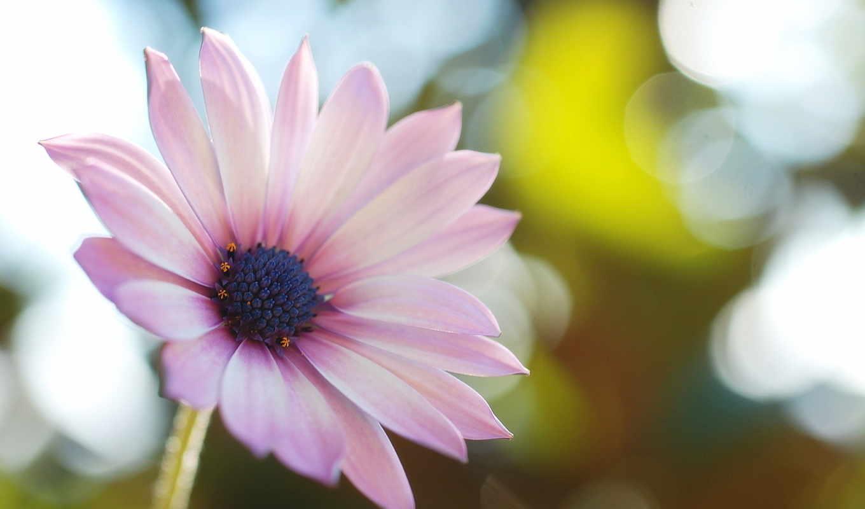 блики, зелень, природа, сиреневые, свет, розовые, цветок, макро, лепестки, картинку, картинка,