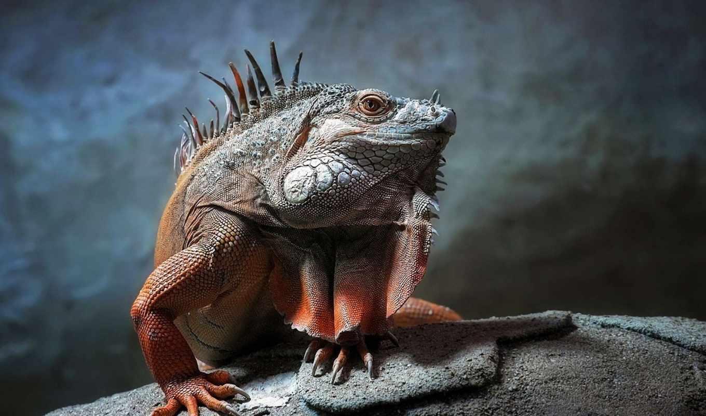 рептилии, животные, рептилия, игуана, взгляд, чешуя,