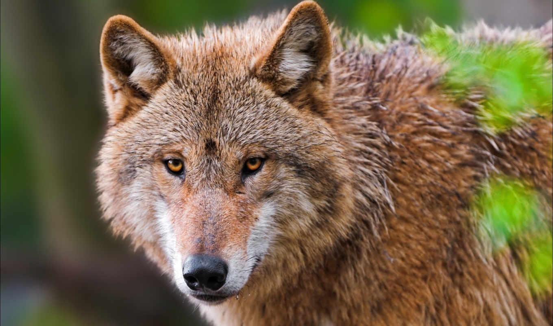 волки, высокого, качества, новом, архиве, украшения, марта, монитора, компьютера, волк, harold, torsen,