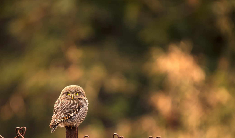 совенок,сова, милый, смотрит,