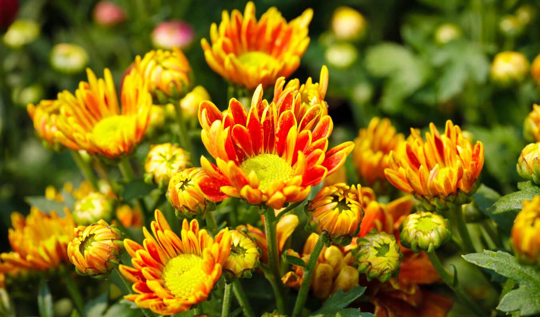 цветы, хризантемы, оранжевый,