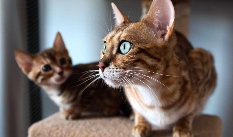 кот, бенгальские, кошки, котята, бенгальская, телефон, картинку, котенка, котенок, окно, взгляд,