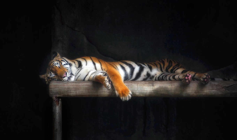 тигр, images, страница, sleeping, шерсть, кот, stock, pictures, normal,