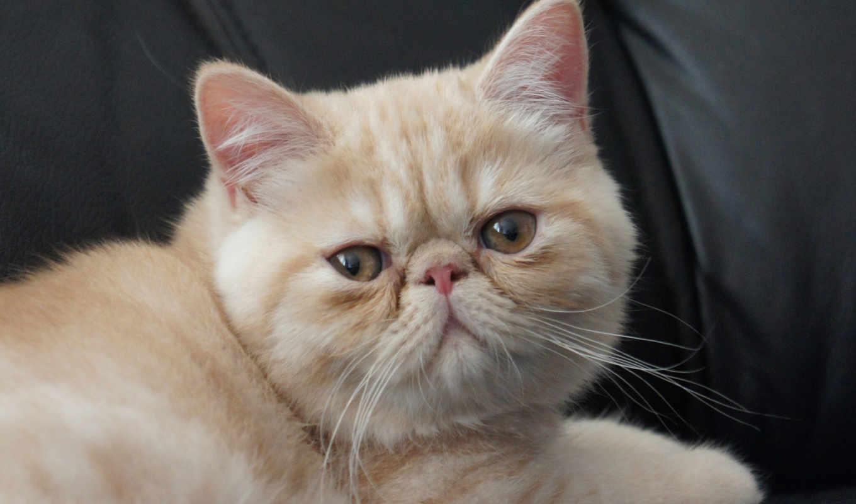 кот, короткошёрстная, экзотическая, кошек, кошки, породы, exotic, особенности, архангельске, характер,