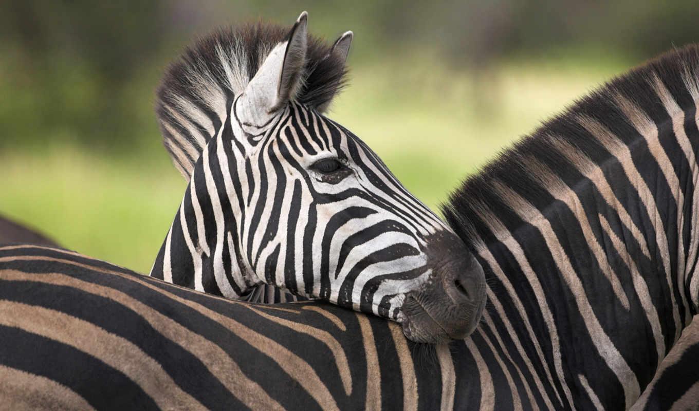 windows, little, descargar, sweet, africa, hintergrundbilder, download, stripes, animal, imagenes,