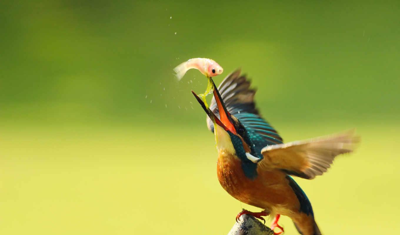 ordinary, kingfisher, птица, птицы,