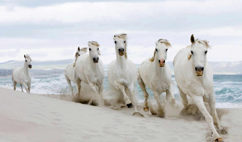 лошади, красивые, лошадь, кони, белые, красавица, лошадей, жеребцы,
