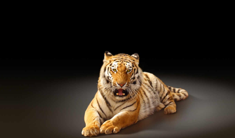 тигр, amur, хищник, кот,