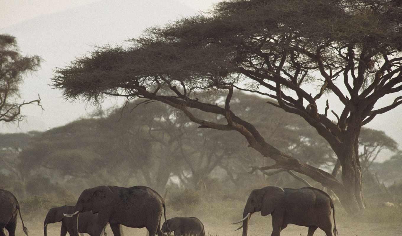 zhivotnye, elephants, дек, фотографий, животных, mothers, african, calves, kenya,