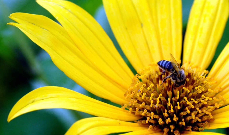 цветке, пчелка, цветы, пчелка,