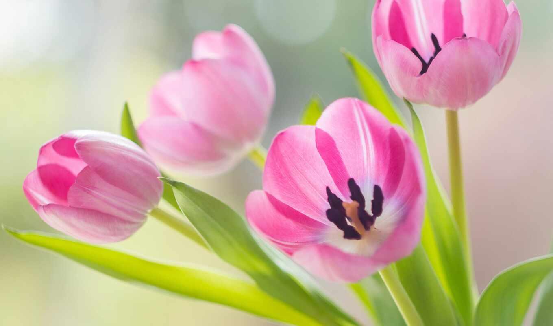 gullar, бутон, тюльпан, розовый, весна, лола, день, love, красавица, праздник, песочница