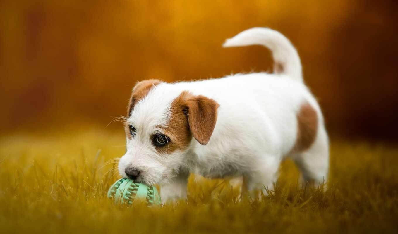 джек, собака, бультерьер, rasset, тематика, щенок, milot, animal, морда