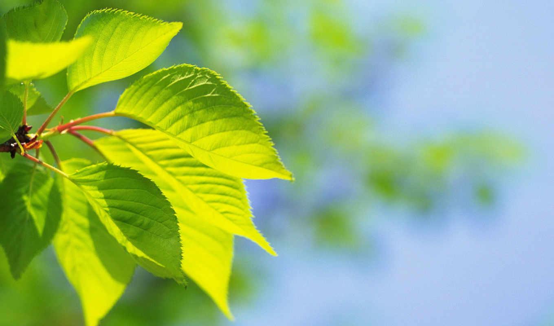 ,лист, зеленые, лето, листочки