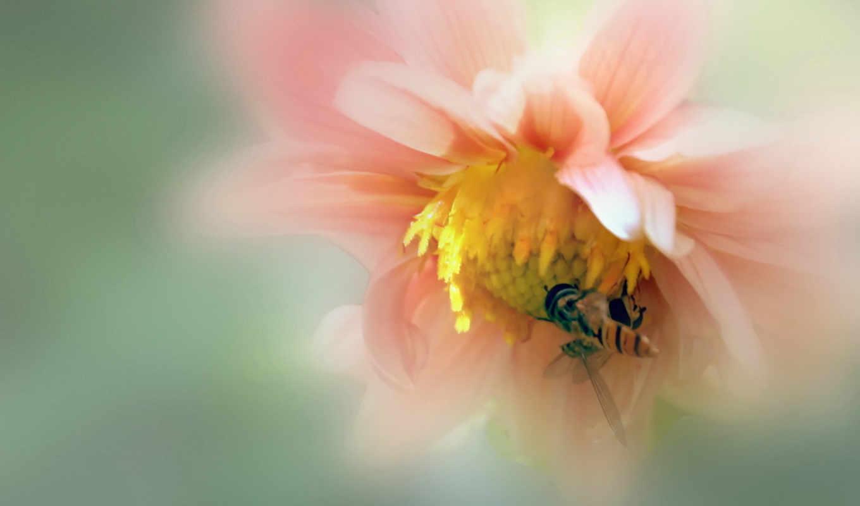 макро, цветок, пчела, картинка,