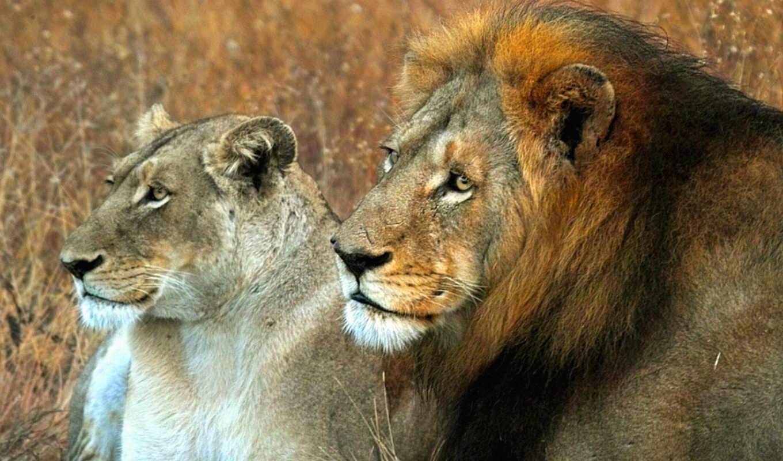 lion, львица, king, зверей, мужской, когда,