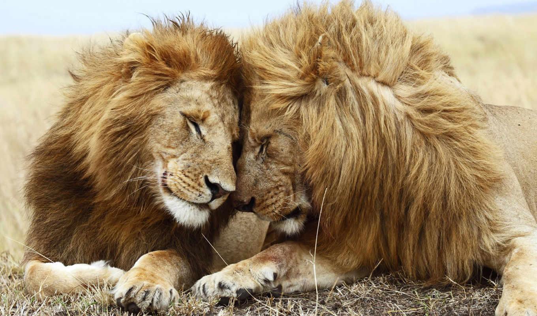 love, львиная, львы, lion, львица, pair,