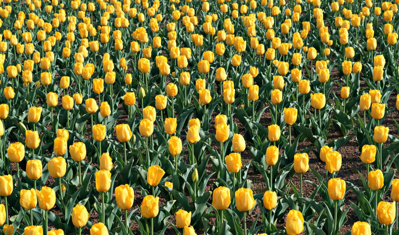 цветы, тюльпаны, wallpapers, поле, цветочный, листья, flowers, nature, hd, wallpaper,